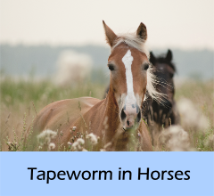 Tapeworm_in_horses